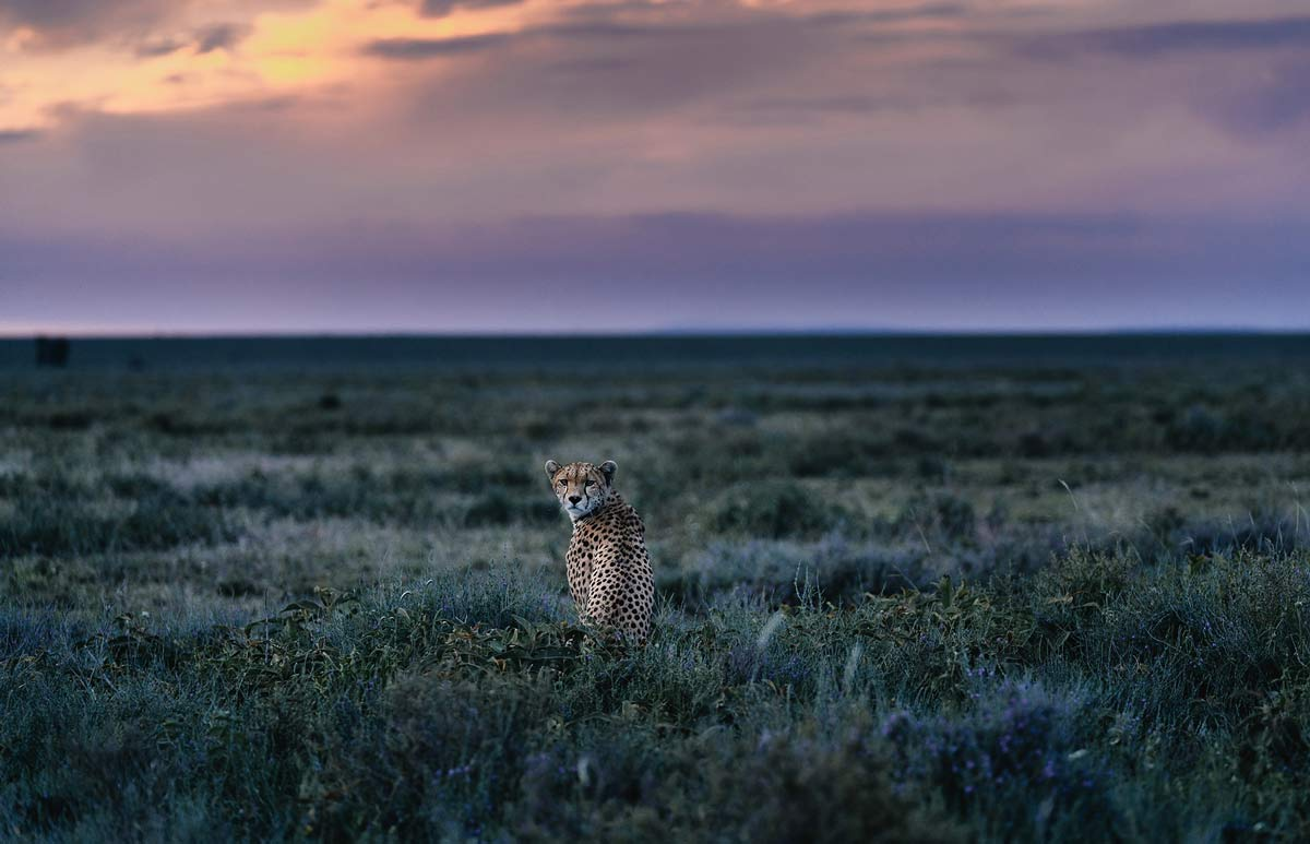 chris-schmid-sony-alpha-7RII-lone-cheetah-stares-back-at-the-camera