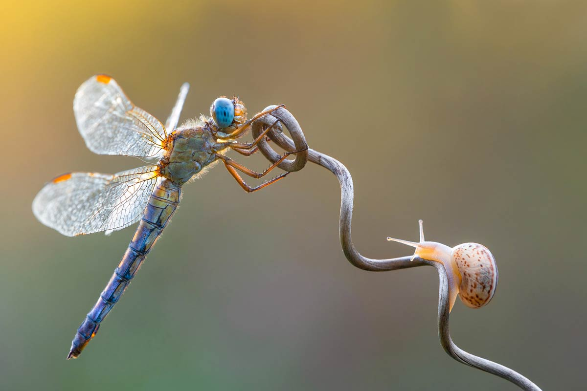 petar-sabol-sony-alpha-7RIII-dragonfly-and-snail-clinging-on-to-a-flower-stem