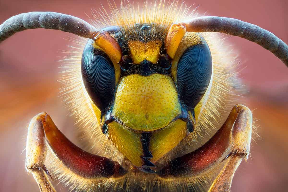 petar-sabol-sony-alpha-7RIII-extreme-close-up-of-a-hornets-face