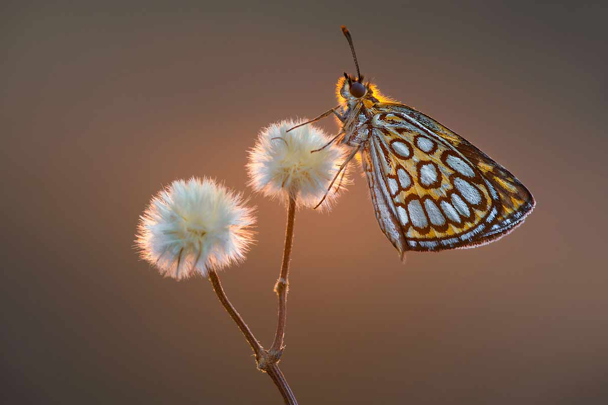 petar-sabol-sony-alpha-99II-butterfly-perched-atop-a-flower-stem-with-the-light-glowing-behind-it